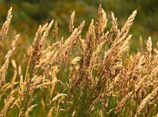 Menor volumen y mayor calidad media en la cosecha de trigo en España