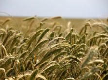 Identifican marcadores de interés agronómico en TD a partir de variedades Mediterráneas