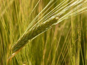 espiga de maiz. Record de producción de cereales