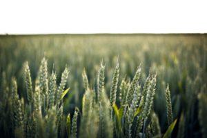 campaña de comercialización 2017 – 2018  trigo