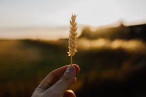 secuencia completa del genoma del trigo