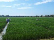 Las variedades de arroz tolerantes a la salinidad del proyecto NEURICE están dando mejores resultados de los previstos