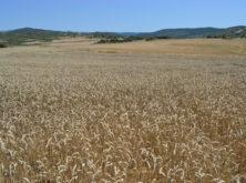 Compromiso Harmony: cultivo sostenible de trigo
